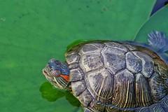 Smile :) (Vaas.V) Tags: macrophotography macrolens macro micro makro макрос 宏 マクロ カメ tortuga tartaruga 龟 pentaxfa100mmf28macro pentaxks2