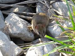 norway rat-san joaquin marsh (2) (gskipperii) Tags: mice rat rodent unusual mammal winter rain wet sanjoaquin marsh wildlifesanctuary wildlife animal outdoors outdoor reeds orangecounty irvine southerncalifornia
