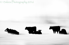 Excursion - 5 Cows (HSS) (13skies) Tags: cows movement sitting bw monochrome artistic vivid topaz effect contrast highkey sonyalpha99 wow