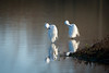 Symétries (Jacques GUILLE) Tags: 09 aigrettegarzette ardéidés ariège domainedesoiseaux egrettagarzetta littleegret mazères pélécaniformes bird oiseau