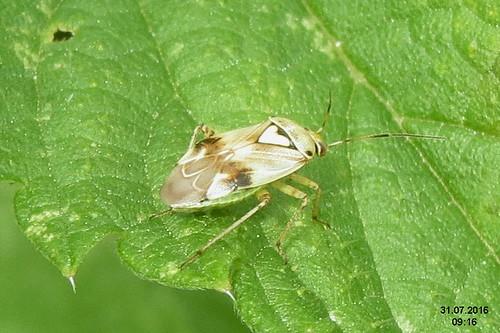 Lygus cf. pratensis (Spess.)