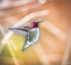 Hummingbird 蜂鳥 (T.ye) Tags: hummingbird annas contrast bokeh flying outside outdoor wildlife wild bird annimal animal