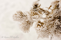 Winter Bouquet (Karen McQuilkin) Tags: winter bouquet white snow nature frosted karenmcquilkin