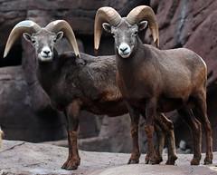 Barbarysheep, tedal burgerszoo JN6A0956 (j.a.kok) Tags: schaap dikhoornschaap sheep barbarysheep tedal mammal hoefdier bighornsheep burgerszoo burgerzoo herbivor zoogdier