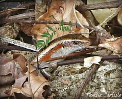 Many-lined Sun Skink (tinlight7) Tags: skink lizard reptile groundskink vietnam catba taxonomy:kingdom=animalia animalia taxonomy:phylum=chordata chordata taxonomy:subphylum=vertebrata vertebrata taxonomy:class=reptilia reptilia taxonomy:order=squamata squamata taxonomy:suborder=sauria sauria taxonomy:family=scincidae scincidae skinks salamanquesasyparientes scynkowate taxonomy:common=skinks taxonomy:common=salamanquesasyparientes taxonomy:common=scynkowate taxonomy:genus=eutropis eutropis taxonomy:species=multifasciata taxonomy:binomial=eutropismultifasciata manylinedsunskink commonsunskink eastindianbrownmabuya eutropismultifasciata vielstreifenmabuye bengkarung kadal taxonomy:common=manylinedsunskink taxonomy:common=commonsunskink taxonomy:common=eastindianbrownmabuya taxonomy:common=vielstreifenmabuye taxonomy:common=bengkarung taxonomy:common=kadal inaturalist:observation=5243878