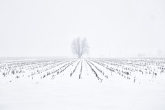 Simply winter (beyondhue) Tags: winter snow snowing ottawa farm filed corn row beyondhue tree fog visibility ontario canada plain simple weather season