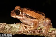 Leptopelis mossambicus  Brown Backed Tree Frog. (Tyrone Ping) Tags: leptopelis mossambicus brown backed tree frog frogs amphibians amphibian canon canon7d 100mmmacrof28 mt24ex herps herping herpetology wild wildherps wildanimals