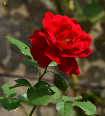Rose (Argentarius85) Tags: nikon d5300 105mm sigma macro makro rose pflanze blüte rot drausen rosen