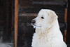 Mogli (balu51) Tags: winter schneeschuhwanderung hütte hund kuvasz ungarischerhirtenhund weiss schwarz kalt snowshowing snow dog white black graubünden surselva januar 2017 copyrightbybalu51