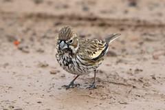 Lark Bunting (Alan Gutsell) Tags: lark bunting larkbunting migration texasbirds texas bigbend nationalpark sparrow black emberizidae