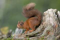Red Squirrel 3 (Barbara Evans 7) Tags: red squirrel abernethy forest cairngorms scotland uk barbara evans7