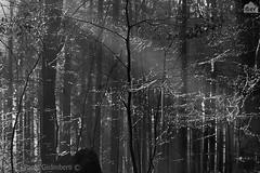 bosco, wood (paolo.gislimberti) Tags: biancoenero blackandwhite foresta forest alberi trees rugiada brina frost dew inverno winter paesaggi landscapes