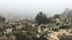 foggy wonderland, san diego backcountry (killyourcar) Tags: desert highdesert cactus sagebrush cholla fog mist drizzle rain diffusedlight sandiego backcountry hike hiking trail dg decomposedgranite