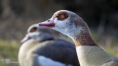 Egyptian Geese Couple (Paula Darwinkel) Tags: egyptiangoose goose geese couple ducks birds nature wildlife animals portrait eyes