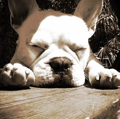 Nothing like a good nap in the sun (TMimages PDX) Tags: usa dog animal geotagged monochromatic frenchbulldog iphoneography