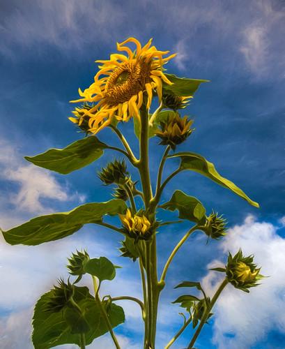 Ah! Sun Flower