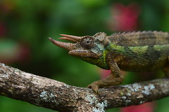 Pink Blur (Leela Channer) Tags: africa pink flowers boy wild blur male green nature leaves animal garden leaf focus branch kenya bokeh reptile lizard twig lichen creature chameleon jacksons jacksonschameleon threehorned