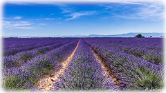 AL-Lavande-Valensole-20150626-016.jpg (Shoot Enraw) Tags: champs provence 26juin lavandes valensole 18200mmf3556 1116mmf28