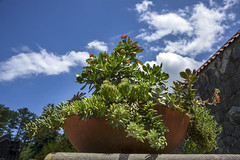 Succulent! (Francine Schumpert) Tags: sky plant nature clouds sunny pottedplants succulents cloudysky biltmoreestate partlycloudy ashevillenc mostlysunny interestingperspective nikond810