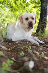 Logan (Giovanni Liotta) Tags: dog verde cane foglie labrador estate logan fiori terra albero tronco pietra etna prato montagna vigne giovanni ciliegie spighe liotta