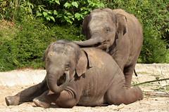 Radza Junior en Ravi (K.Verhulst) Tags: elephant ravi elephants emmen noorderdierenpark olifanten dierentuinemmen aziatischeolifant asiaticelephants radza aziatischeolifanten radzajunior