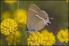Satyrium spini /Mancha azul/ Blue-spot Hairstreak (jumoga2011) Tags: naturaleza insectos nature butterfly mariposas tamron90 bluespothairstreak satyriumspini canon7d manchaazul jumoga2011
