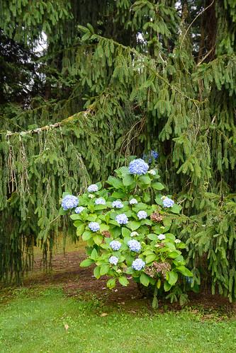 Rincón con Hortensia (Hydrangea)