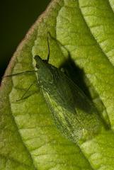 Cigarrinha (Dictyopharidae) a (Enio Branco) Tags: nature rainforest wildlife natureza bugs macrophotography mataatlântica macromundo artropods sosmataatlântica macromaniaanimalgroup