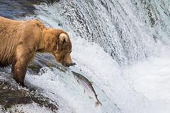 Staring Contest (jeff_a_goldberg) Tags: bear alaska us unitedstates salmon grizzly nationalparkservice brownbear grizzlybear brooksfalls katmai brooksriver brookslodge katmainationalparkandpreserve