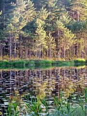 Evening at Iso-Holma, at Nuuksio National Park (Lalallallala) Tags: lake nature water pine espoo suomi finland outdoors waterlily reflect nuuksio kansallispuisto nuuksionationalpark isoholma