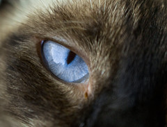 Deep Blue (y.elbehi) Tags: blue white black eye beauty animal cat grey kitten siamese