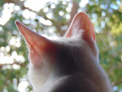 My love, Snow (Ana Jlia Milani) Tags: cats cat bokeh kitty gatos gato whitecat gatobranco sonyh300 sonydsch300