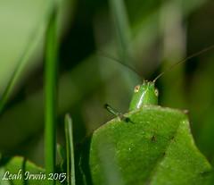 Orthoptera Hidden in Canola (LeahAIrwin) Tags: canada insect weeds farming crop damage orthoptera carman canola entomology mabitoba