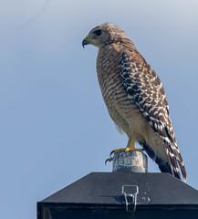 20150807-_74P1599.jpg (Lake Worth) Tags: bird nature birds animal animals canon wings florida wildlife feathers wetlands everglades waterbirds southflorida 2xextender sigma120300f28dgoshsmsports