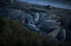 Elephant seals-Piedras Blancas-lighthouse (jhelms1) Tags: show sanfrancisco seattle street uk trip travel trees winter wedding sunset red sea summer vacation portrait sky people urban woman usa sun white snow tree water yellow rock vintage river square thailand photography zoo tokyo scotland photo washington spring spain san raw texas unitedstates photos taiwan squareformat
