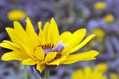 Mitte August 2015 im Rheinland (borntobewild1946) Tags: nrw blte insekt nordrheinwestfalen rheinland biene kleingarten wespe blhen schrebergarten kleingartenanlage fluginsekt nektarsammler copyrightbyberndloosborntobewild1946 aneinemregentagineinemschrebergarten