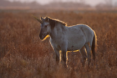 My First Unicorn! (Hugobian) Tags: konik ponies horse pony horses mammal burwell fen national trust unicorn sunset sun backlit nature wildlife fauna pentax k1