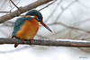 Martin-Pêcheur 170111-07-P (paul.vetter) Tags: oiseau ornithologie ornithology faune animal bird martinpêcheur alcedoatthis eisvogel kingfisher