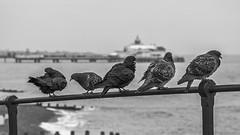 The Wild Bunch (El Tel63, Photographer & Phantom flyer) Tags: eastbourne east sussex eastsussex canon 24105mm pigeon bird sea englishchannel eastbournepier coast blurredlines canon50d blackandwhite niksilverefexpro