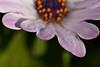 Pétalos y gotas (Hachimaki123) Tags: plant planta flor flower gotas gota drop water agua dimorphotecaecklonis osteospermunecklonis pétalo