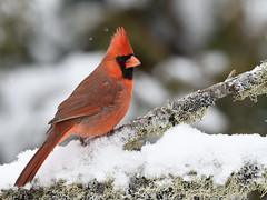 Cardinal rouge ♂ Northern cardinal (Sylvain Prince) Tags: cardinaliscardinalis