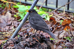 Blackbird (eric robb niven) Tags: ericrobbniven scotland blackbird walking winter wildlife wildbird nature perthshire