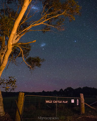 Give Me a Home Among the Gum Trees (nightscapades) Tags: astronomy astrophotography aurora australia captainsflat cattle eucalypt eucalyptus farm gumtrees magellanicclouds night nightsky nightscapes sky stars trails trees tuross turosshead