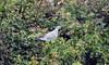 Wood pigeon (1) (John Carson Essex UK) Tags: thegalaxy thegalaxystars rainbowofnature supersix