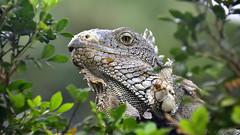 Iguana  wildlife (flowerikka) Tags: ecuador guayaquil iguanas lizard echse parkbolivar landscape outdoors wildlife animal dragon