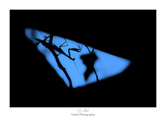 Le triangle des Bermudes (Naska Photographie) Tags: naska photographie photo photographe paysage proxy proxyphoto macro macrophotographie macrophoto silhouette noir et blanc black white nb monochrome ombre chinoise mante religieuse mantidae blue bleu color couleur bokeh