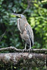 White-throated Tiger-Heron (xrpo) Tags: tigerheron whitethroated costa rica wildlife bird water