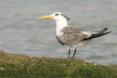 Grote kuifstern - Thalasseus bergii velox - Greater Crested Tern (merijnloeve) Tags: oman bird birdwatching omani grote kuifstern thalasseus bergii velox greater crested tern filim bay