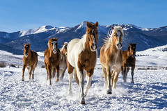Horses in Snow - Colorado (JusDaFax) Tags: horse horses running trotting snow winter colorado mountains capped sky blue palamino palimino mane detail sun travel westcliffe wanderlust