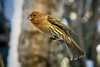 DSC09771 (nitchwick) Tags: bird finch housefinch